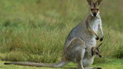 Why male kangaroo bag