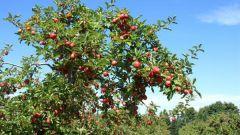 Почему дикие яблоки и сливы кислые