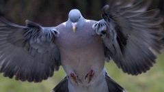 Почему на улице можно увидеть только взрослых голубей