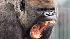 Кто сильнее - горилла или лев?