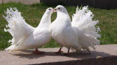Легенды и мифы о голубях