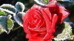 Как подготовить к зиме плетистую розу