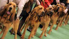 Как проводятся выставки собак