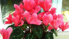 How to care for cyclamen