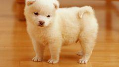 Как недорого купить породистого щенка