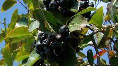 Как сварить компот из черноплодной рябины