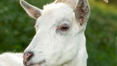 Как держать козу в доме