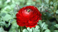 Символом чего являются красные хризантемы