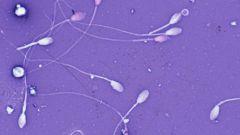 Как образуется сперма