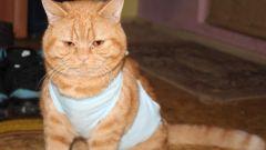 Как сшить бандаж для кошки