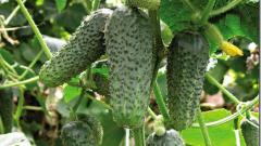 Почему огурец называют ложной ягодой