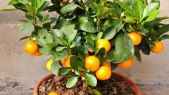 How to grow a Mandarin house in the pot