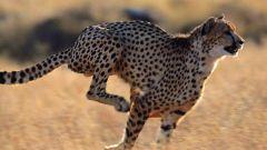 Самые быстрые хищники на земле