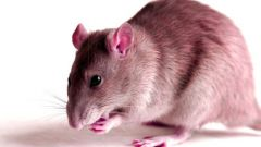 How to get rid of rats from your home without chemicals