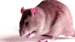 Как прогнать крыс из дома без химии