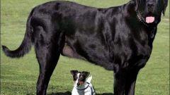 ТОП-10 самых больших собак в мире