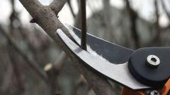 Как и когда обрезать плодовые деревья