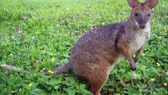 Почему в Австралии почти все животные сумчатые