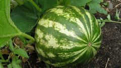 When ripe watermelons in the Krasnodar region