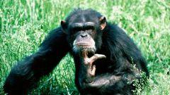 Как нарисовать обезьяну карандашом поэтапно
