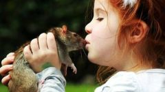 Симптомы мышиной лихорадки