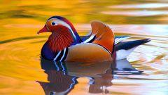 Почему утка плавает