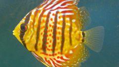 Какие аквариумные рыбки самые красивые