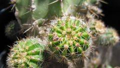Съедобны ли кактусы