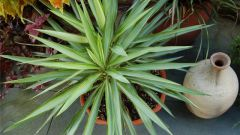 Why Yucca wither and dry leaves