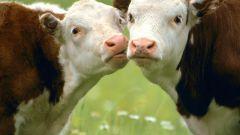 Почему коровы постоянно жуют
