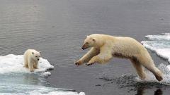 Чем питаются белые медведи