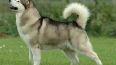 How much is a puppy Malamute