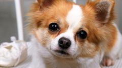 Why do Chihuahuas shiver