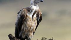 Образ жизни птиц-падальщиков