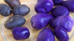 Чем полезен фиолетовый картофель