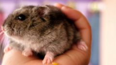 How I live Djungarian hamsters
