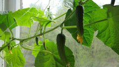 How to pollinate cucumbers in the home