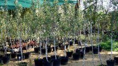 Как купить саженцы плодовых деревьев