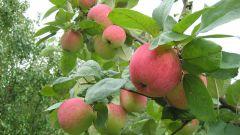 Какие поздние сорта яблонь имеют крупные плоды
