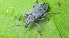 Какие насекомые уничтожают садовых вредителей