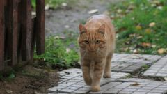 Whether to castrate the village cat