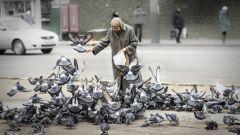 Почему нельзя кормить голубей черным хлебом