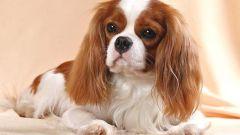 Какая порода у собаки Йоко из фильма
