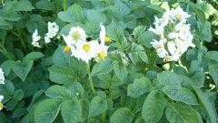 Нужно ли обрабатывать цветки картофеля