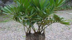 Замия - реликт в царстве растений