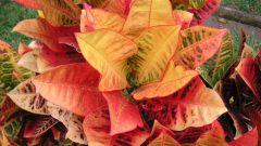 Кротон - великолепие цвета на окне
