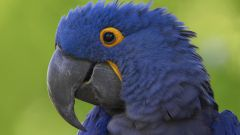 Why a parrot plucks feathers?