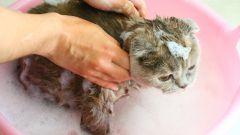 Гигиена домашних питомцев: мытье кошки