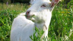 Как встречать наступающий год Козы (Овцы)