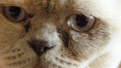 Почему у кошек могут слезиться глаза